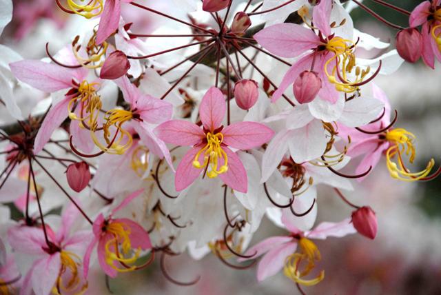 ดอกไม้ประจำจังหวัดหนองคาย